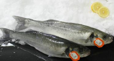 Pêcheries Les Brisants - Ulysse Marée - Bar de ligne vidé et écaillé - 1 pièce pour 500g