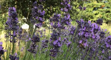 La Boite à Herbes - Fleurs De Lavande Fraîche - 30g