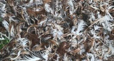 Des Poules et des Vignes à Bourgueil - Plume De Volailles Pour Engrais