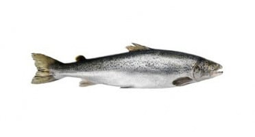 Ma poissonnière - Saumon Entier - Pièce De 2 Kg