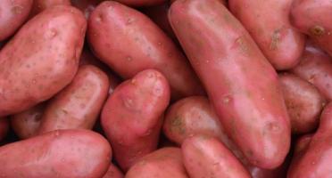 Le Châtaignier - Pommes De Terre Chérie - 6kg