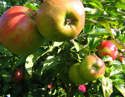 Au bon Jardinet - Pommes Elstar X 3kg