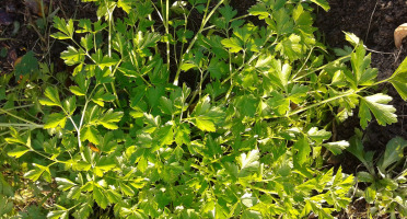Les Jardins de Karine - Persil plat surgelé - 50g