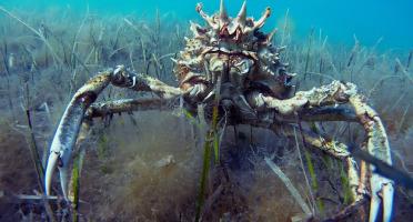 LTJ2 - Pêche en plongée - Araignée De Mer De Plongée 1kg - Vivante