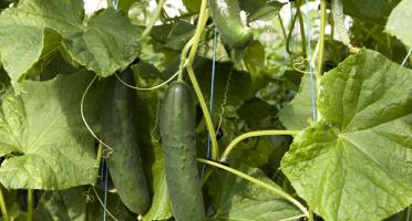 Le Jardin des Gallines - Concombre Noa Bio - 2 Pièces