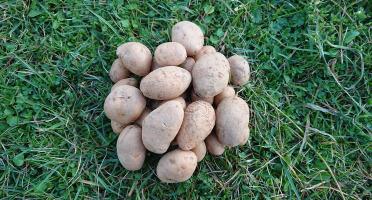 La Ferme Boréale - Pomme De Terre Spunta Calibre 35-55 - 5kg