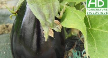 Mon Petit Producteur - Aubergine violette bio Shakira