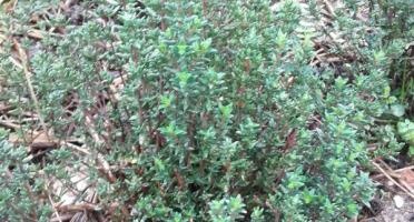 Le Jardin des Gallines - Bouquet De Thym D'hiver