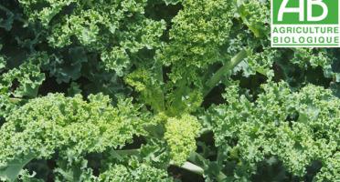 Mon Petit Producteur - Chou Vert Frisé Kale