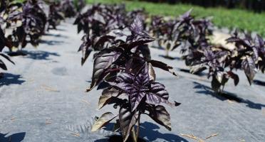 La Boite à Herbes - Basilic Pourpre - 100g