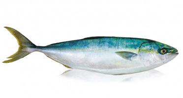 Qwehli - Sériole - Filet 1.4kg