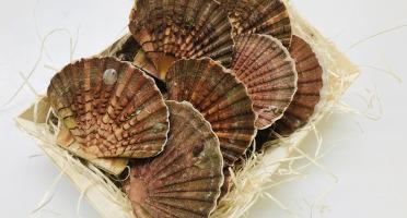 Mer Sea - Coquille Saint Jacques Normande 6 Kg - vivantes