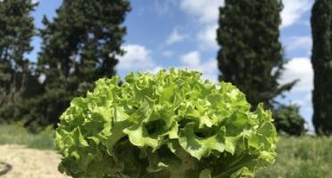 La Boite à Herbes - Jeune Batavia Verte Bio