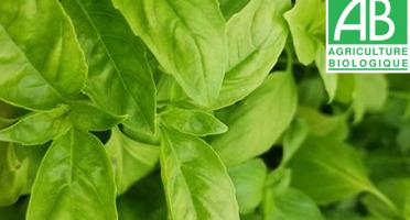 Mon Petit Producteur - Basilic vert bio en botte