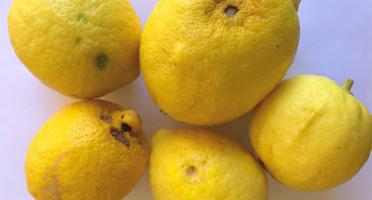 Le Jardin des Antipodes - Citrons Femiminello - 20kg - Pour La Transformation En Confitures Ou En Cuisine