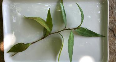 """Le Jardin des Antipodes - Coriandre Vietnamienne """"rau Ram"""" Fraîche"""