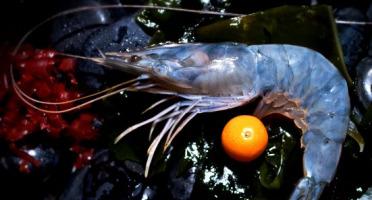 Obsiblue - Gambas bleues de Nouvelle-Calédonie - Gambas Bleues De Nouvelle-calédonie - Calibre 21-30 - 2kg