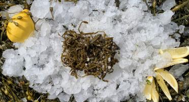 Thaëron - Haricots de mer - Barquette de 1 kg