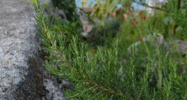 Le Jardin des Antipodes - Romarin Frais Bio