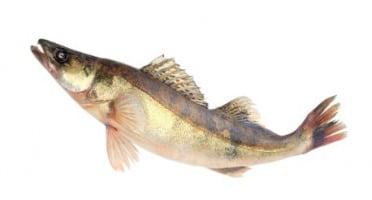 Ma-  poissonnière - Sandre Vidé - Pièce De 1,2 Kg
