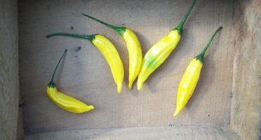 HERBA HUMANA - Piment frais Hot Lemon
