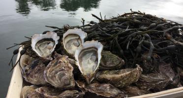 Les Huîtres Chaumard - Huîtres de Paimpol N°3 - bourriche de 100 pièces (8 douzaines)