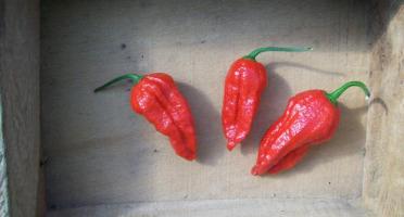 HERBA HUMANA - Piment frais frais Naga Jolokia Red - 60g