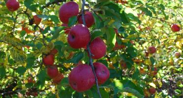 La Boite à Herbes - Pomme Pink Crips - 3kg