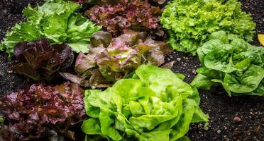 La Boite à Herbes - Lot Salade Feuille De Chêne Rouge Et Salade Feuille De Chêne Vert  Bio