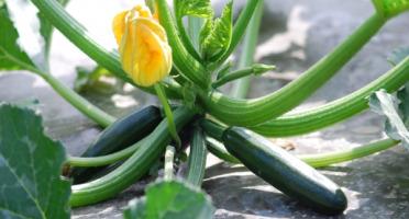 La Boite à Herbes - Courgette 500g Bio