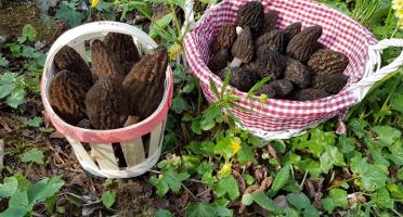 Champignons des Monts-Jura - Morilles Fraîches du Terroir Jurassien - 500 g
