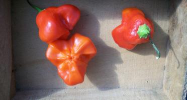 HERBA HUMANA - Piment frais frais Mushroom Red - 300g