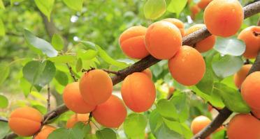 La Boite à Herbes - Abricots de saison Bio - 1kg