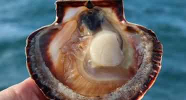 KI DOUR MOR - Coquilles Saint-Jacques Baie de St-Brieuc - pêchées en plongée - 10kg - vivantes