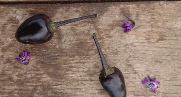 HERBA HUMANA - Piment frais frais Black Prince
