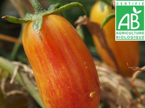 Mon Petit Producteur - Tomate Ancienne Bio Flame Blush [vendu Par 500g]