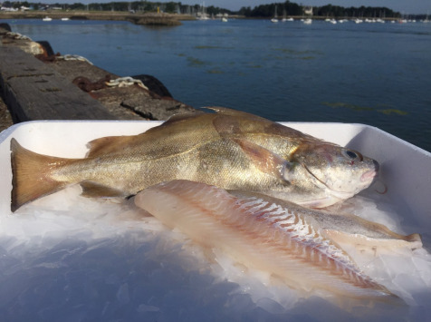 Pêcheries Les Brisants - Ulysse Marée - Filet De Tacaud - Pelé Sans Ventre - 1kg