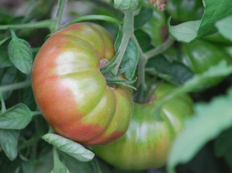 La Boite à Herbes - Tomate Noire De Crimée Bio - 1kg