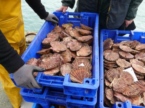 KI DOUR MOR - Coquilles Saint-jacques Baie De St-brieuc - Pêchées En Plongée - 2,5kg - Vivantes