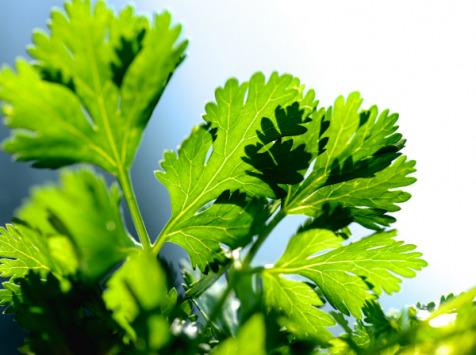 Les Herbes du Roussillon - Cerfeuil Frais