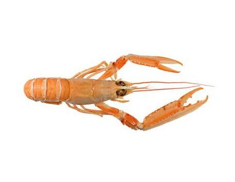 Ma poissonnière - Langoustine Crue - Lot De 1 Kg