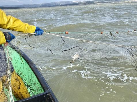 Pêcheurs Toni & David Micheau - Caissette Daurades Royales Sauvages De Méditerranée - 2Kg