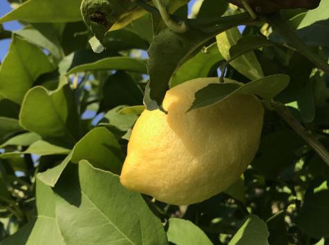 Le Jardin des Antipodes - Citron Femminello Frais Non-traités de Vintimille - 3kg