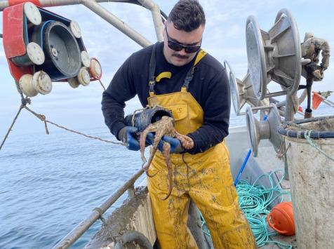 Pêcheurs Toni & David Micheau - Poulpe Roc De Méditerranée - Entier - 1,5kg
