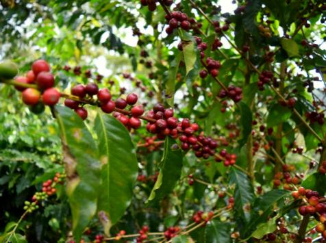 LA TRIBU - Pack Découverte café Grain 2x1kg Équitable & Bio origines Pérou & Mexique