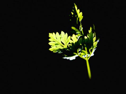 Les Herbes du Roussillon - Persil Plat Frais