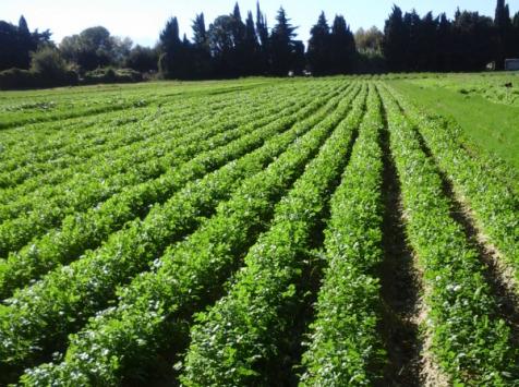 Les Herbes du Roussillon - Coriandre Fraîche