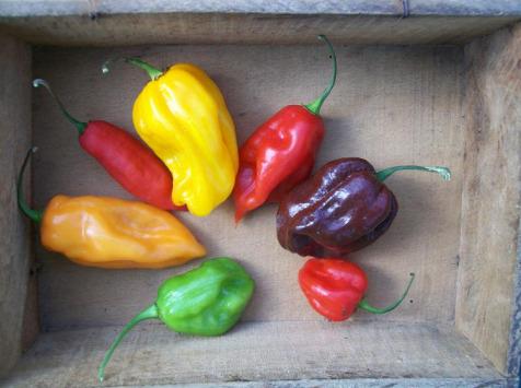 HERBA HUMANA - Piment frais Antillais (Habanero)