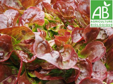 Mon Petit Producteur - Salade Feuille De Chene Rouge