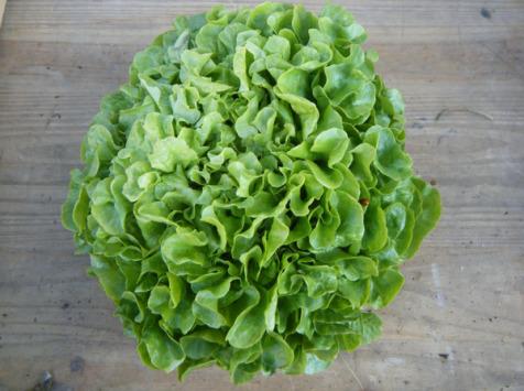 Multiproductions - Cédric Joliveau - Salade Feuille de Chêne Verte